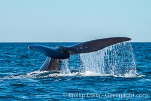 Southern right whale raising fluke out of the water, Patagonia, Argentina, Eubalaena australis, Puerto Piramides, Chubut