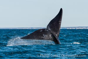 Southern right whale raising fluke out of the water, Patagonia, Argentina, Puerto Piramides, Chubut