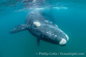 Underwater and aerial stock photographs of southern right whales.
