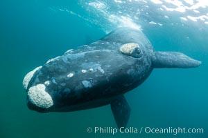 Southern right whale underwater, Eubalaena australis, Argentina, Eubalaena australis, Puerto Piramides, Chubut