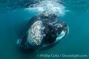 Rostrum and callosities of southern right whale underwater, Eubalaena australis, Argentina, Eubalaena australis, Puerto Piramides, Chubut