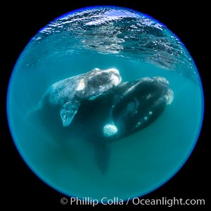 Southern right whale mother and calf underwater, Eubalaena australis, Argentina. Puerto Piramides, Chubut, Eubalaena australis, natural history stock photograph, photo id 35950