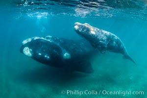 Southern right whale mother and calf underwater, Eubalaena australis, Argentina. Puerto Piramides, Chubut, Eubalaena australis, natural history stock photograph, photo id 35953