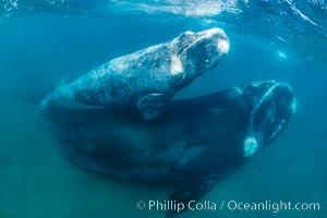 Southern right whale mother and calf underwater, Eubalaena australis, Argentina, Eubalaena australis, Puerto Piramides, Chubut