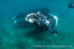 Southern right whale mother and calf underwater, Eubalaena australis, Argentina, Puerto Piramides, Chubut