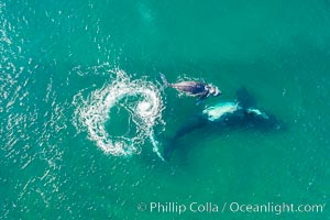 Southern right whale mother and calf in shallow water, aerial photo, Patagonia, Argentina, Eubalaena australis, Puerto Piramides, Chubut