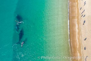 Southern right whales very close to shore, people watching from the beach, aerial photo, Patagonia, Argentina, Eubalaena australis, Puerto Piramides, Chubut