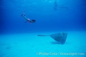 Southern stingray. Bahamas, Dasyatis americana, natural history stock photograph, photo id 04904