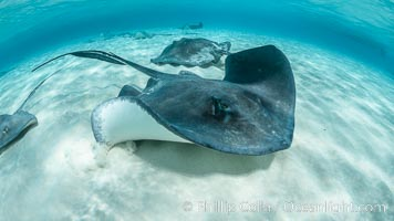 Southern Stingray, Stingray City, Grand Cayman Island. Stingray City, Grand Cayman, Cayman Islands, Dasyatis americana, natural history stock photograph, photo id 32066