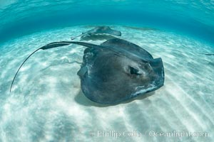 Southern Stingray, Stingray City, Grand Cayman Island. Stingray City, Grand Cayman, Cayman Islands, Dasyatis americana, natural history stock photograph, photo id 32071