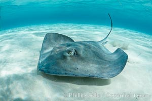 Southern Stingray, Stingray City, Grand Cayman Island. Stingray City, Grand Cayman, Cayman Islands, Dasyatis americana, natural history stock photograph, photo id 32080