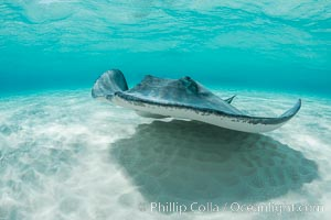 Southern Stingray, Stingray City, Grand Cayman Island. Stingray City, Grand Cayman, Cayman Islands, Dasyatis americana, natural history stock photograph, photo id 32082