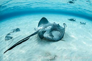 Southern Stingray, Stingray City, Grand Cayman Island, Dasyatis americana