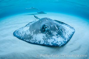 Southern Stingray, Stingray City, Grand Cayman Island. Stingray City, Grand Cayman, Cayman Islands, Dasyatis americana, natural history stock photograph, photo id 32151