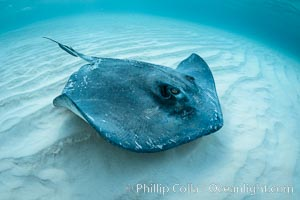 Southern Stingray, Stingray City, Grand Cayman Island. Stingray City, Grand Cayman, Cayman Islands, Dasyatis americana, natural history stock photograph, photo id 32159