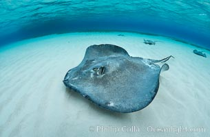 Southern Stingray, Stingray City, Grand Cayman Island. Stingray City, Grand Cayman, Cayman Islands, Dasyatis americana, natural history stock photograph, photo id 32211