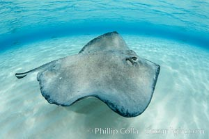 Southern Stingray, Stingray City, Grand Cayman Island. Stingray City, Grand Cayman, Cayman Islands, Dasyatis americana, natural history stock photograph, photo id 32217