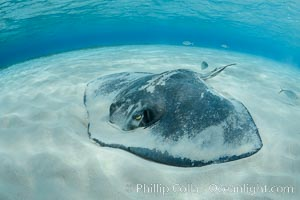 Southern Stingray, Stingray City, Grand Cayman Island. Stingray City, Grand Cayman, Cayman Islands, Dasyatis americana, natural history stock photograph, photo id 32222