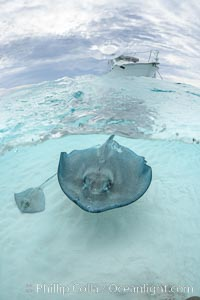 Southern Stingray, Stingray City, Grand Cayman Island. Stingray City, Grand Cayman, Cayman Islands, Dasyatis americana, natural history stock photograph, photo id 32227