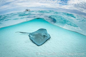 Southern Stingray, Stingray City, Grand Cayman Island. Stingray City, Grand Cayman, Cayman Islands, Dasyatis americana, natural history stock photograph, photo id 32232