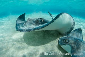 Southern Stingrays, Stingray City, Grand Cayman Island, Dasyatis americana