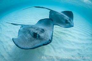 Southern Stingrays, Stingray City, Grand Cayman Island. Stingray City, Grand Cayman, Cayman Islands, Dasyatis americana, natural history stock photograph, photo id 32158