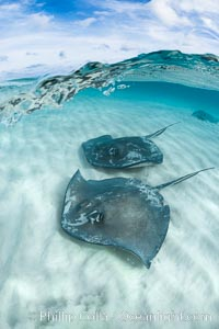 Southern Stingrays, Stingray City, Grand Cayman Island. Cayman Islands, Dasyatis americana, natural history stock photograph, photo id 32162