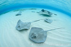 Southern Stingrays, Stingray City, Grand Cayman Island. Stingray City, Grand Cayman, Cayman Islands, Dasyatis americana, natural history stock photograph, photo id 32209