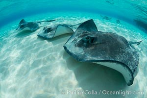 Southern Stingrays, Stingray City, Grand Cayman Island. Stingray City, Grand Cayman, Cayman Islands, Dasyatis americana, natural history stock photograph, photo id 32220