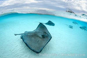 Southern Stingrays, Stingray City, Grand Cayman Island. Stingray City, Grand Cayman, Cayman Islands, Dasyatis americana, natural history stock photograph, photo id 32234