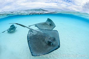 Southern Stingrays, Stingray City, Grand Cayman Island. Stingray City, Grand Cayman, Cayman Islands, Dasyatis americana, natural history stock photograph, photo id 32235