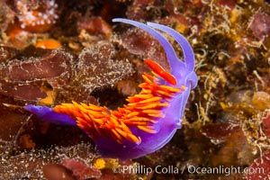 Spanish shawl nudibranch. San Diego, California, USA, Flabellinopsis iodinea, Flabellina iodinea, natural history stock photograph, photo id 34199