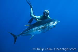 Chris Thompson and yellowfin tuna speared at Guadalupe Island. Guadalupe Island (Isla Guadalupe), Baja California, Mexico, natural history stock photograph, photo id 03732
