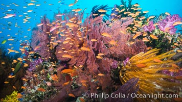 Spectacular pristine tropical reef with vibrant colorful soft corals. Dendronephthya soft corals, crinoids, sea fan gorgonians and schooling Anthias fishes, pulsing with life in a strong current over a pristine coral reef. Fiji is known as the soft coral capitlal of the world, Dendronephthya, Pseudanthias, Crinoidea, Gorgonacea