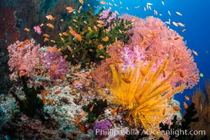 Spectacular pristine tropical reef with vibrant colorful soft corals. Dendronephthya soft corals, crinoids, sea fan gorgonians and schooling Anthias fishes, pulsing with life in a strong current over a pristine coral reef. Fiji is known as the soft coral capitlal of the world, Dendronephthya, Pseudanthias, Crinoidea, Gorgonacea, Tubastrea micrantha, Vatu I Ra Passage, Bligh Waters, Viti Levu  Island