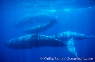 Sperm whales, Physeter macrocephalus, Sao Miguel Island