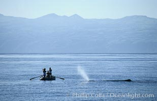 Sperm whale blows in front of Tokyo Broadcasting System film crew, Physeter macrocephalus, Sao Miguel Island