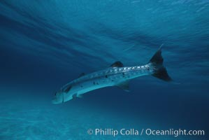 Great barracuda. Bahamas, Sphyraena barracuda, natural history stock photograph, photo id 05214