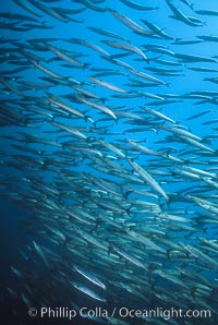 Barracuda. Cousins, Galapagos Islands, Ecuador, Sphyraena idiastes, natural history stock photograph, photo id 01847