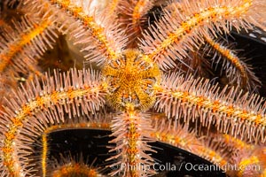 Spiny brittle stars (starfish) detail., Ophiothrix spiculata, natural history stock photograph, photo id 35079