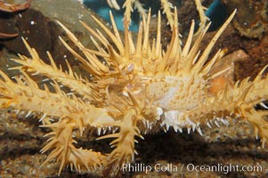 Spiny king crab, Paralithodes californiensis