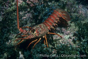 Spiny lobster. Catalina Island, California, USA, Panulirus interruptus, natural history stock photograph, photo id 01032
