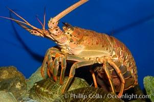 Spiny lobster. California, USA, Panulirus interruptus, natural history stock photograph, photo id 09432
