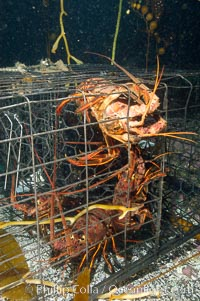 California spiny lobsters are caught in a fishermans wire trap cage on the oceans bottom.  Santa Barbara Islands, Panulirus interruptus
