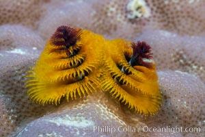 Spirobranchus Christmas Tree Worm, Fiji, Makogai Island, Lomaiviti Archipelago