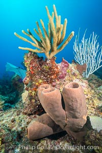 Sponges on Caribbean coral reef, Grand Cayman Island. Grand Cayman, Cayman Islands, natural history stock photograph, photo id 32191