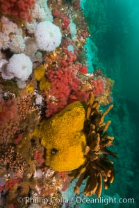 Colorful anemones and soft corals, bryozoans and sponges the rocky reef in a kelp forest near Vancouver Island and the Queen Charlotte Strait.  Strong currents bring nutrients to the invertebrate life clinging to the rocks. British Columbia, Canada, Gersemia rubiformis, natural history stock photograph, photo id 34388