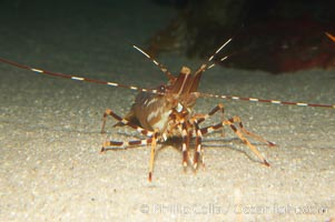 Image 12876, Spot prawn., Pandalus platycaros, Phillip Colla, all rights reserved worldwide. Keywords: animal, creature, crustacean, invertebrate, marine invertebrate, nature, ocean, pandalus platycaros, shrimp prawn, spot prawn, underwater, wildlife.