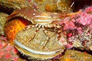 Spot prawn atop scallop, Pandalus platycaros, Crassedoma giganteum