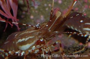 Image 08986, Spot prawn., Pandalus platycaros, Phillip Colla, all rights reserved worldwide.   Keywords: animal:crustacean:invertebrate:marine invertebrate:ocean:oceans:pacific:pandalus platycaros:shrimp prawn:spot prawn:underwater:wildlife.